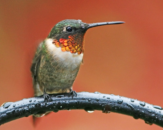 Ruby-Throated 20d_7818