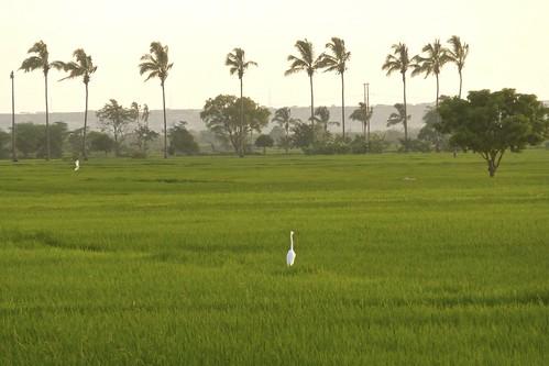 verde peru nature blanca arroz piura garza sullana siembras