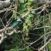 Small photo of Amazon kingfisher mopan river cayo