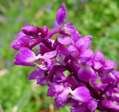 digitalis(0.0), flower(1.0), purple(1.0), plant(1.0), lilac(1.0), herb(1.0), wildflower(1.0), flora(1.0), lathyrus latifolius(1.0), snapdragon(1.0), petal(1.0),