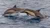 Long-beaked Common Dolphins, Sea of Cortez by bfryxell