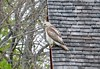 Rooftop redtail