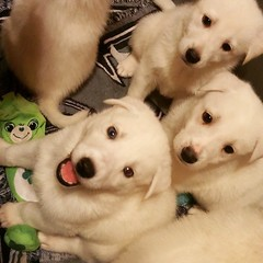 Puppies! #GSD #husky #germanshepherddog #shepsky #puppy #6weeks
