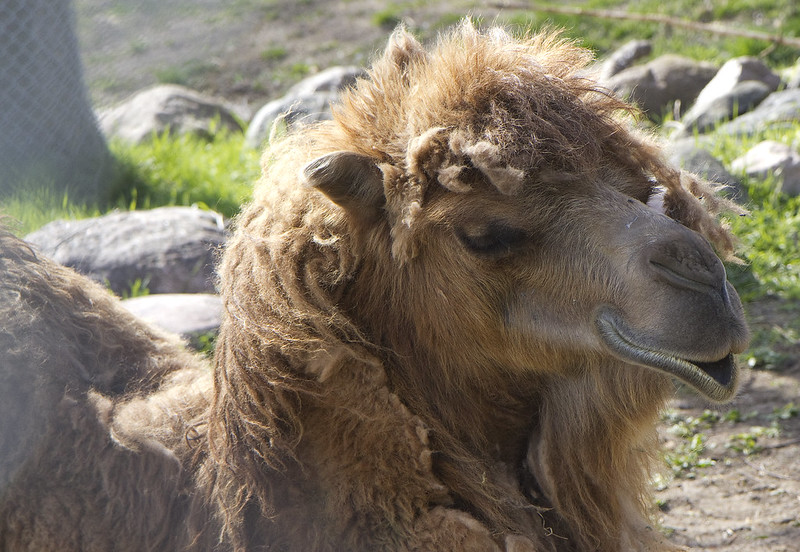 Bactrian Camel female