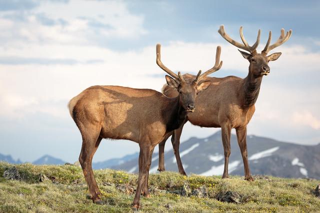 Mule Deer (Odocoileus hemionus)