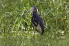Tri-colored Heron by DFChurch