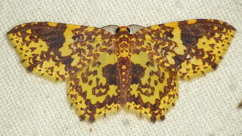 Geometer Moth, Eois sp.