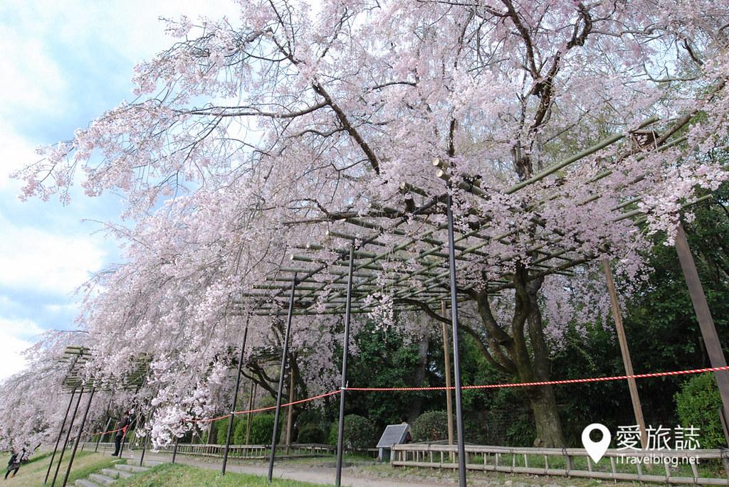 京都赏樱景点 半木之道 07