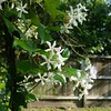 Spring Jasmine by Calsidyrose
