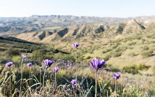 Hillsides of brodiaea, m339