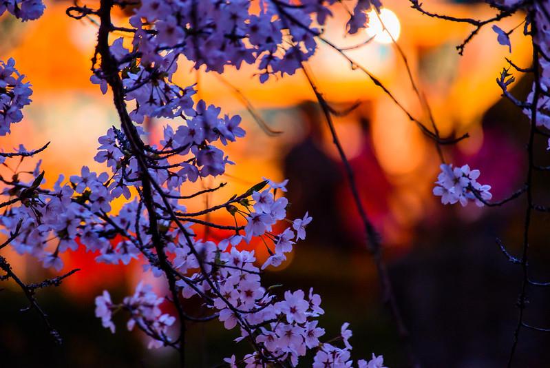 打吹公園 桜-6