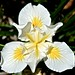 Iris douglasiana, 'Canyon Snow' Douglas Iris by David McSpadden