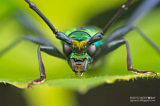 Longhorn beetle (Chloridolum sp.?) - DSC_8292b