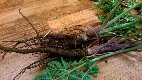 Harvested wild carrots, by Sally Hallsworth