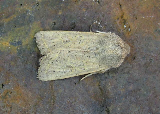 73.247 Powdered Quaker - Orthosia gracilis