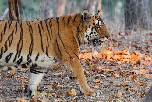 Male Tiger, Pench NP