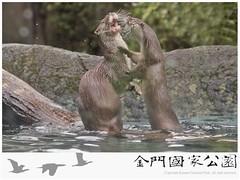 水獺(大金小金-1040206)