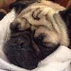 Nothing like a Pug puppy that won't settle down until you swaddle him like a baby, to make you feel better when you are sick!