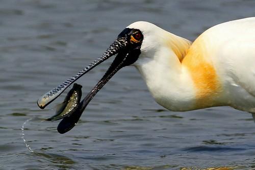 黑面琵鷺。(攝影:呂宏昌,圖片來源:林務局提供)