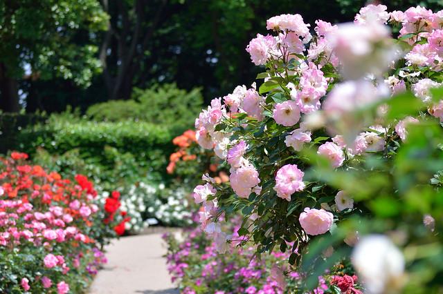 バラ園 Rose garden