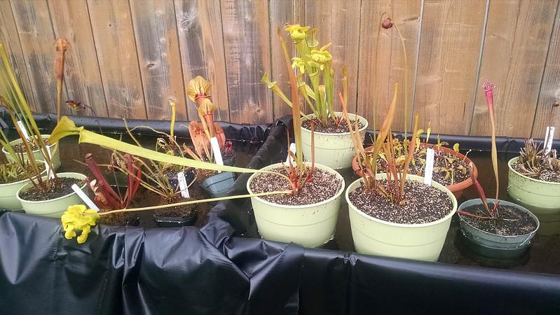 Sarracenia flava var. cuprea all bent over.