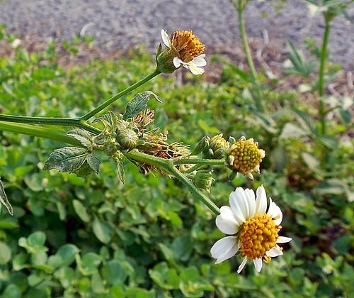 florcitas de Amor seco (Bidens pilosa) 2