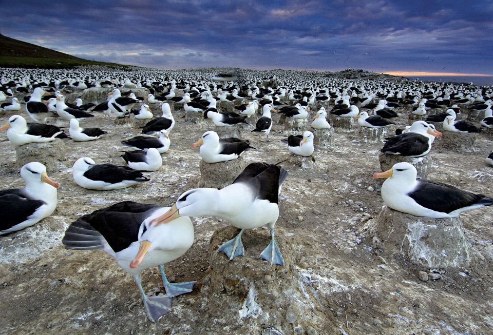 black browed albatrosses from south africa