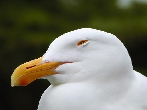 Seagull, Alcatraz