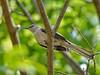 Mocking Bird - Bottom View
