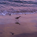 Willet at Malibu Beach by kolja.wawrowsky