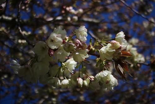 Blossom, Brogdale Farm