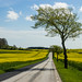 Country road and yellow field by Infomastern