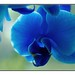 Blue Orchid by kurtwolf303
