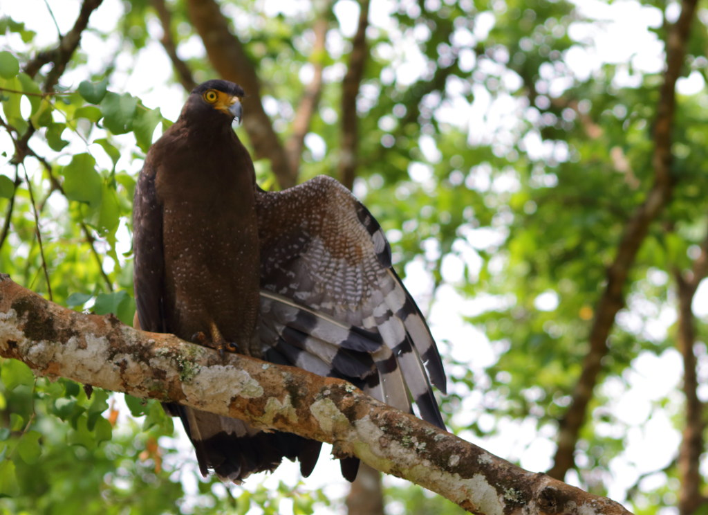 Crested Serpent Eagle shows off its wings