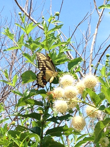 Eastern Giant Swallowtail (Papilio cresphontes) on Common Buttonbush (Cephalanthus occidentalis)