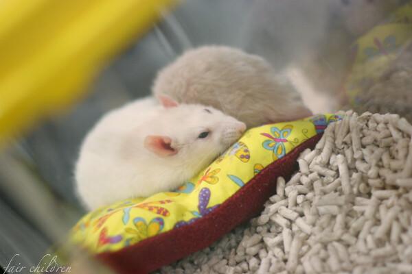 Pet expo: rats
