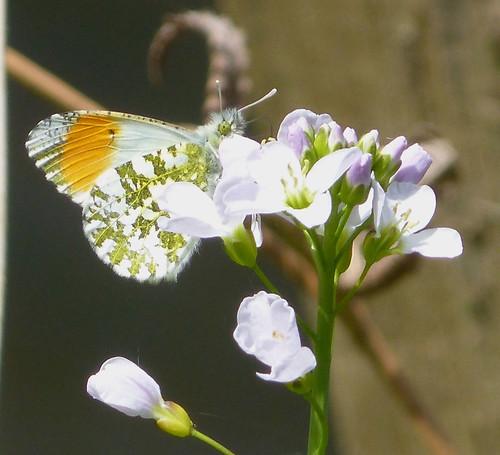 Orange-tip Male