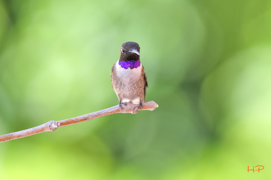 Black-chinned Hummingbird 041615