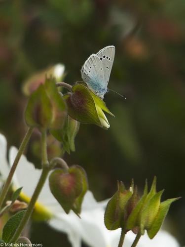 Het bloemenblauwtje (Glaucopsyche alexis)