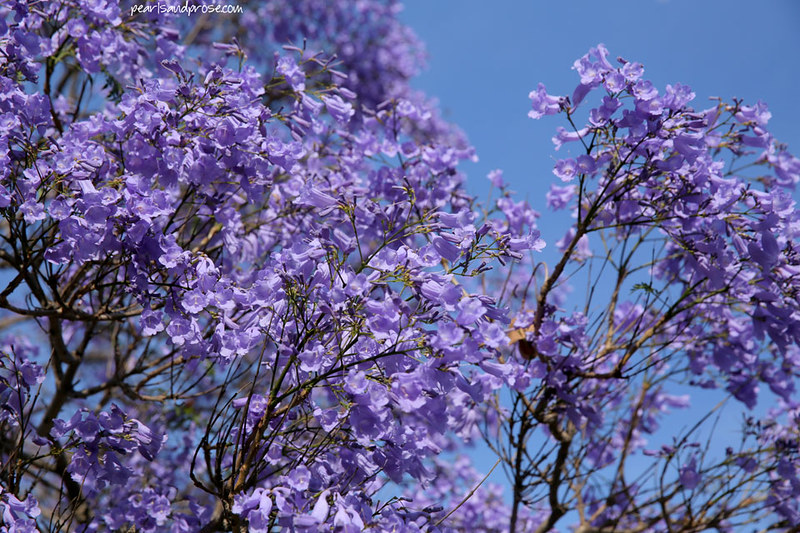jacaranca_trees_web