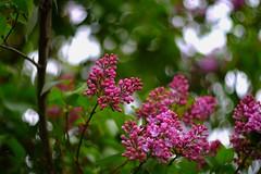 Lilac Opening - Mamiya Sekor F.C. 58mm f1.7 @1.7