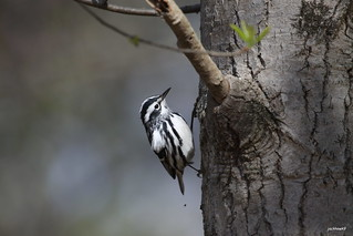 """Black-and-white Warbler"" ""Mniotilta varia"""