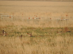 Lesser prairie chickens, Holly, Colo.