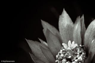 B&W Mammillaria spinosissima