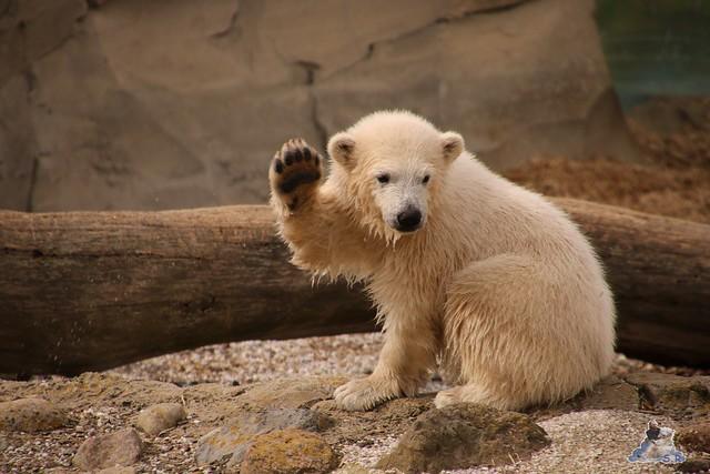 Eisbär Lilli im Zoo Bremerhaven 30.04.2016 Teil 2  92