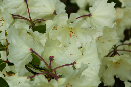 White: rhododendron flowers