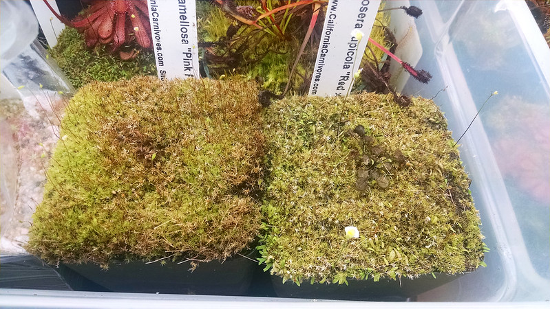 Dormant Drosera ramellosa and Drosera rupicola.