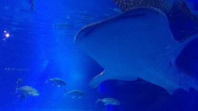 Whale shark belly view