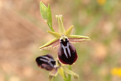 Orchids of Cyprus