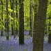 Ashridge Bluebells by JonoHub